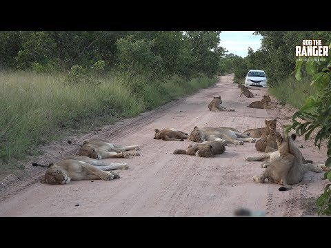 Massive Pride Of Lions Blocking Road In South Africa (Presented By Sheldon Zam) (видео)