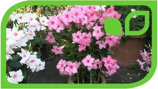 Der stark aufrecht wachsende grossblumige Dipladenia Typ. Teil 3