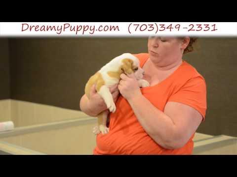 Gorgeous EngAm Bulldog Male Puppy