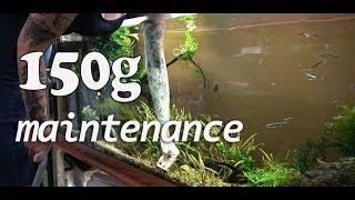Maintaining the 150 Gallon River Manifold Hillstream Aquarium by Rachel O'Leary