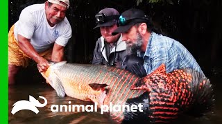 This HUGE Arapaima Is An Impressive Catch! | Fish or Die by Animal Planet