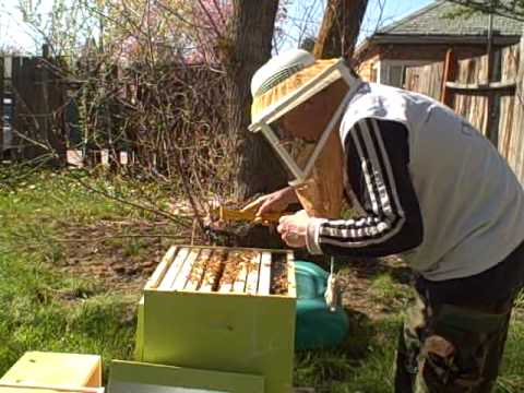 Day After Installing Bees: Checking Queen Is In Hive