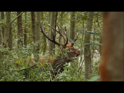 Wideo1: Rykowisko Nadleśnictwo Karczma Borowa 2019
