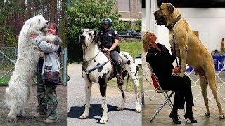 10 raças de cães gigantes