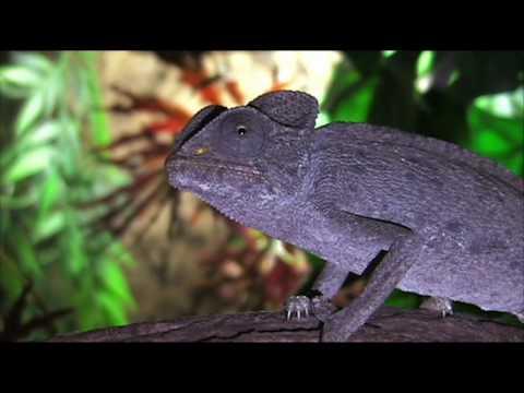 Jak barvitá je mluva chameleonů?