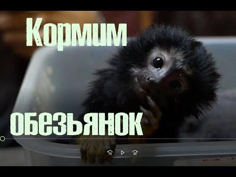 Работа или удовольствие? Как выкормить малыша обезьянки