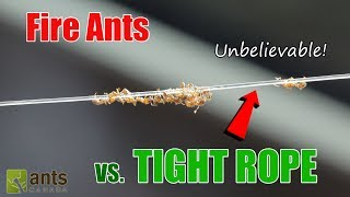 """Click here to SUBSCRIBE: https://goo.gl/tlCQJZWow! This video shows how fire ants masterfully deal with getting food to its colony by crossing a long tight rope. Visit us at http://www.antscanada.com CLOSE CAPTIONING """"CC"""" available for this video. Please feel free to contribute to translating/CCing this video into another language: http://www.youtube.com/timedtext_cs_panel?tab=2&c=UCONd1SNf3_QqjzjCVsURNuAA brand new video is uploaded on this channel every Saturday at 8AM EST (with frequent bonus videos) so be sure to SUBSCRIBE to the channel to catch every ant video we release! Thank you for the support.List of Ant Equipment Used in this video:""""The Fire Nation"""" Solenopsis geminata Colony:•AC Outworlds https://goo.gl/SccvGn•AC Field & Forest Biome Kit https://goo.gl/2alaoo•AC Desert & Oasis Biome Kit https://goo.gl/0jXxr0•AC Rainforest Biome Kit https://goo.gl/13NSLj•Various AC Equipment https://goo.gl/oWs4Qs•Rubbermaid bin•BBQ Skewer•Invisible Nylon Wire▶▶▶We've got new Ant T-shirts! Check them out here: https://goo.gl/PjnB7t▶▶▶Got a question about ants or AntsCanada? Visit our website FAQ: https://goo.gl/mJPEqn▶▶▶Want an ant farm? Check out our ant shop. We ship worldwide: http://goo.gl/I4l7Ho ▶▶▶Need to buy an ant colony for your ant farm, or do you have ant colonies to sell/give away? Find out more about our GAN Project: http://goo.gl/jzo9LcClick here to watch every video we have ever made: https://goo.gl/8zNkImFire Ant (Solenopsis geminata) playlist: https://goo.gl/Dlu7PZBlack Crazy Ant (Paratrechina longicornis) playlist: https://goo.gl/FsKLzKYellow Crazy Ant (Anoplolepis gracillipes) playlist: https://goo.gl/ZQCCUwAnts REACT Series & Other Time Lapse Video playlist: https://goo.gl/BVuLeAAntsCanada Tutorial Playlist: https://goo.gl/8dQnwbJoin us at the new AntsCanada Ant Forum: http://forum.antscanada.com▶AntsCanada Official Website http://www.antscanada.com▶Like us on http://facebook.com/antscanada ▶Follow us on http://twitter.com/antscanada▶Follow us on http:"""