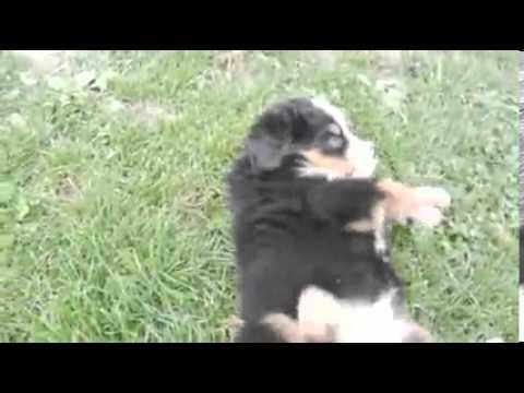 Toledo Ohio Puppies girl 2 (only 2 girls left)