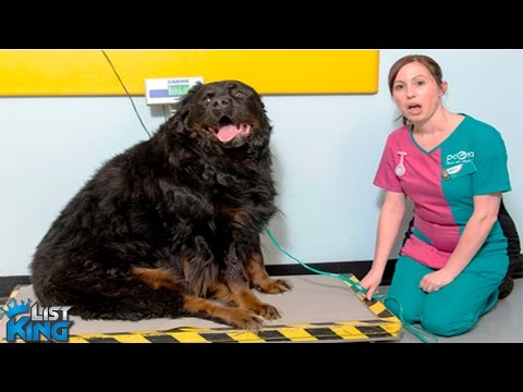 10 FATTEST DOGS In The Entire World | LIST KING
