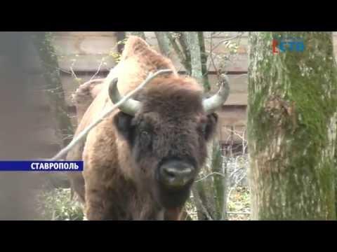 Бизон в зоопарке пака Победы