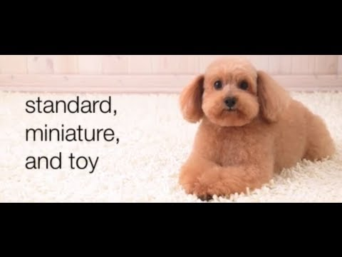 Dogs 101 - Poodles (видео)