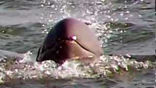 Laos Dam Plan Threatens Existence Of Rare Dolphin: WWF