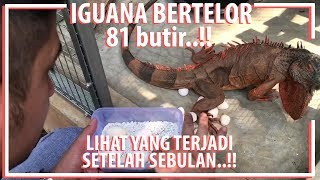 Video Iguana Bertelor 81 Butir..! LIHAT APA YANG TERJADI SETELAH 1 BULAN..!!! MP3, 3GP, MP4, WEBM, AVI, FLV November 2018