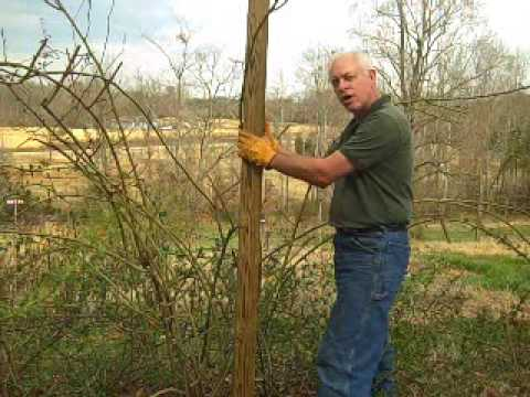 roses - Pillar roses add new height to the garden and give you a chance to use more climbing roses in your landscape. This video shows you how to grow one. If you ha...