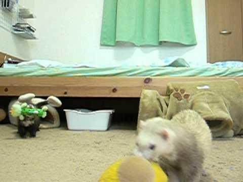 フェレット ぬいぐるみ争奪戦 / A competition for Stuffed toy by ferrets.