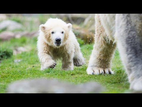 Gelsenkirchen: Eisbär-Baby Nanook macht erste Schritte im Außengehege