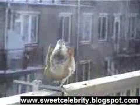 Hungry Dutch pigeon