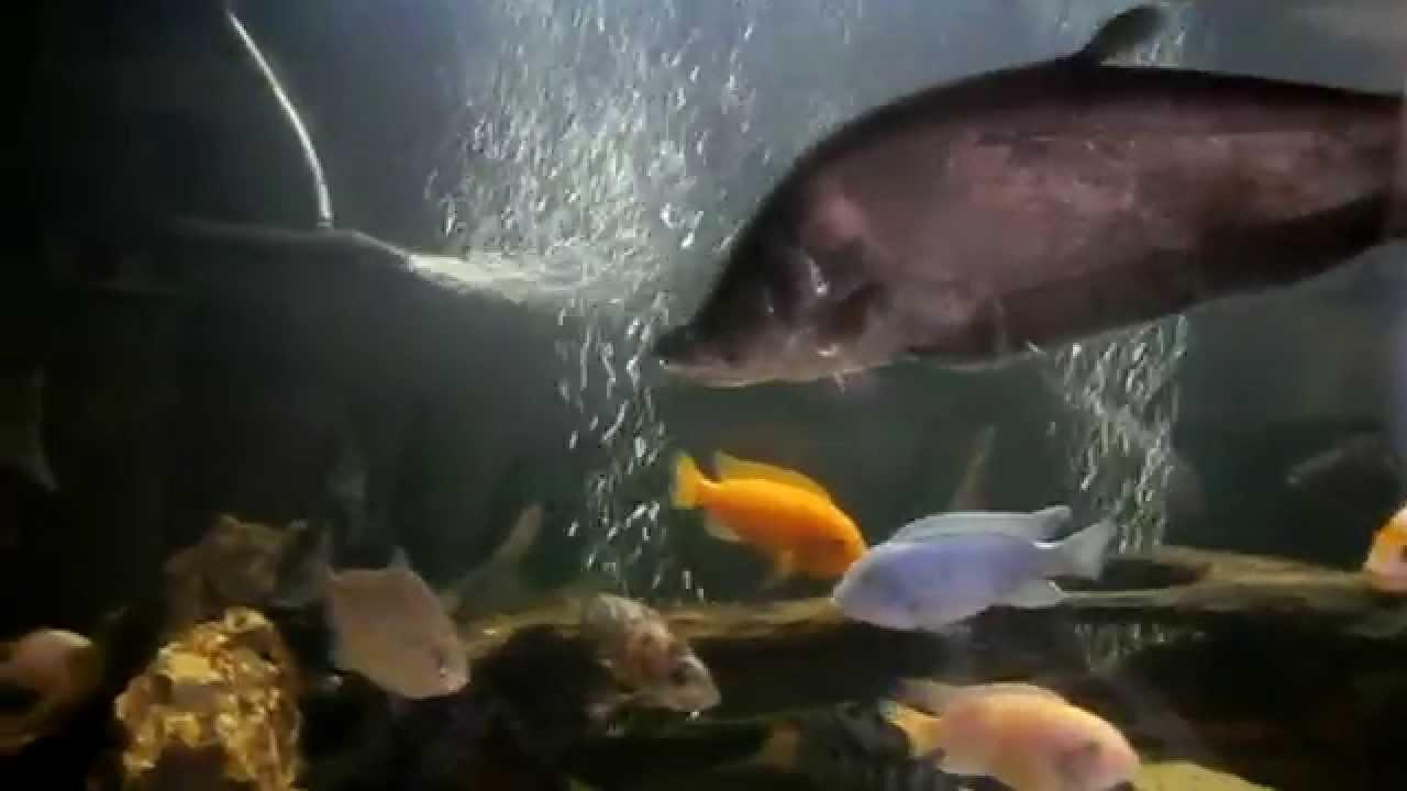 Смотреть онлайн: Интерактивный аквариумный туризм Сезон 2 Выпуск 19(Сумбурчик)