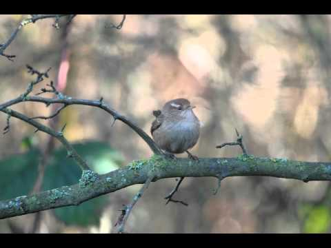 Wren Flying away at Rainham Marshes RSPB on 16th December 2012