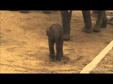 Elefantinho aprendendo a andar =D