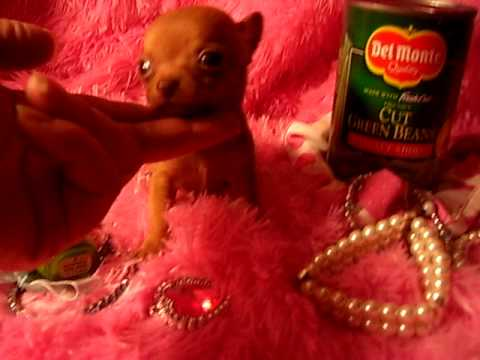 Red Rider Micro Pocket red Teacup Chihuahua from Tiny Paws and Claws 100 Dollars?