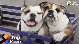 Paralyzed Bulldog Puppy Has THE Best Family Now + Dogs Transformed by Love  | The Dodo Top 5 by The Dodo