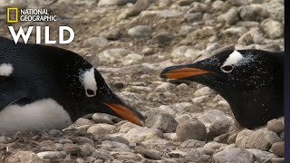 Penguins Build a Nest | Predator in Paradise by Nat Geo WILD