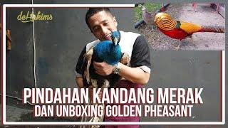 Video PINDAHAN KANDANG MERAK DAN UNBOXING GOLDEN PHEASANT MP3, 3GP, MP4, WEBM, AVI, FLV April 2019