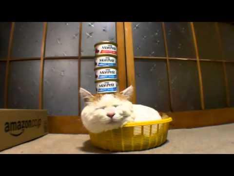 Shironeko – wyluzowany kot