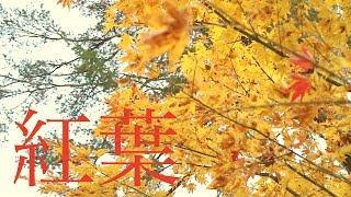 根尾越波の紅葉