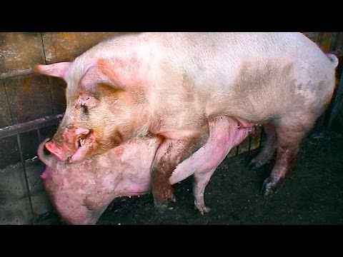 Video Ridiculous Pigs Mating. download in MP3, 3GP, MP4, WEBM, AVI, FLV January 2017