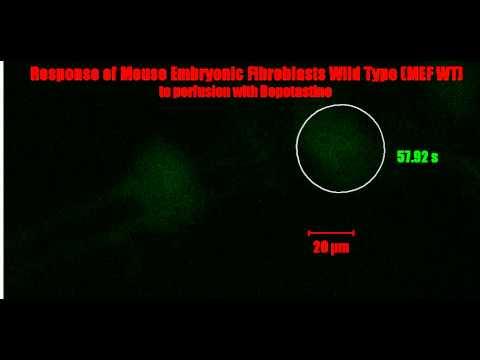 Bepotastine perfusion on Mouse Embryonic FIbroblast Wild Type
