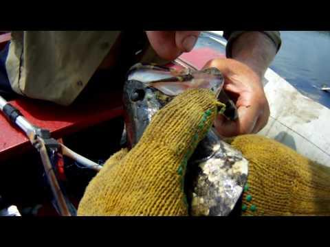 рыбалка на змееголова во владивостоке