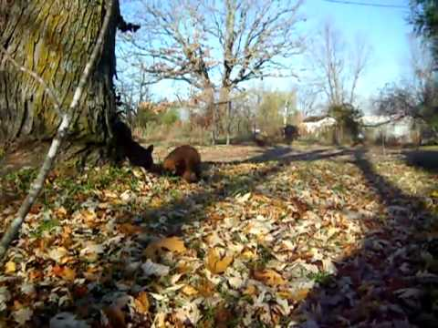 Zeke eats the trees - Silly Soft Coated Wheaten Terrier pup