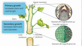 Plants - Meristematic Tissue