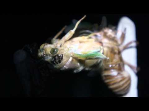 【動画フェス】蝉の羽化