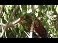 Parrot Eating European Privet Berries 🍇🐦