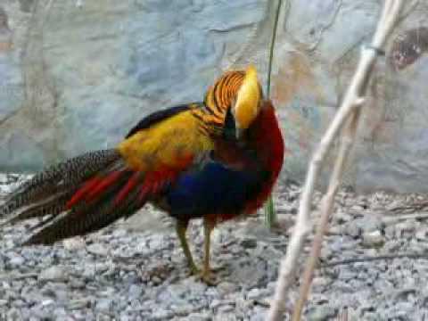 Faisan Pheasant