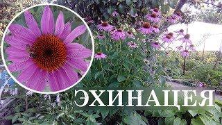 Эхинацея Неприхотливые цветы для сада  Посадка размножение уходПоделитесь этим видео с друзьями: https://www.youtube.com/watch?v=hACFuaTc8MYПодпишитесь на наш канал и узнавайте о новинках первыми:https://www.youtube.com/channel/UCGJKDtcChrsyIqMuK8mqkcA**********************************************Подключение к  Yoola ( ранее -VSP Group) - https://youpartnerwsp.com/join?106681**********************************************Канал работает в нескольких направлениях. Основное направление -  выращивание и уход за самыми различными растениями  ( овощами, деревьями, кустарниками, декоративными растениями и др.)на своем участке ( даче, подворье).Все наши ролики - исключительно авторские и отсняты на нашем личном подворье. Все советы  и методы работы, которые мы вам предлагаем  взяты из нашего личного многолетнего опыта в  выращивании растений и уходе за ними.Также мы  размещаем  разнообразные рецепты праздничных и повседневных блюд, приготовленных нами лично .  У нас  каждый найдет для себя материалы на интересующую его тему.  Ролики на нашем канале размещаются регулярно и планомерно.  Мы стараемся максимально разнообразить материал, чтобы вам было интересно и не скучно. На вопросы наших зрителей, размещенных в комментариях всегда даем ответы с разъяснениями. Мы всегда открыты для общения с вами.Мы категорично, отрицательно относимся к ,любого рода, плагиату с других каналов и сайтов. Приглашаем вас посетить наш канал и ознакомиться с нашими работами.НАШИ РАБОТЫ:Плейлист ЦВЕТЫ: https://www.youtube.com/watch?v=87BP0vtipF4&list=PLLy0f7X1NEuNwpoUB5atEGc6Ff2sxcV0o&index=4Плейлист Розы: https://www.youtube.com/watch?v=7RYrW4GEUhE&list=PLLy0f7X1NEuOXtlJU4uNlfXBqV8YDo-xN&index=1Плейлист: Ягоды https://www.youtube.com/watch?v=sX54Az-RQpM&list=PLLy0f7X1NEuOzNVa2sh5mSZoXOxXByKuy&index=1Плейлист Огурцы: https://www.youtube.com/watch?v=AmcTLsZYceY&index=2&list=PLLy0f7X1NEuOCiGTMUta3Ks4MoTHZgWo8Плейлист Виноград:https://www.youtube.com/watch?v=-8H35rPsW28&list=PLLy0f7X1NEuOnwp3mCfeUQr8llq