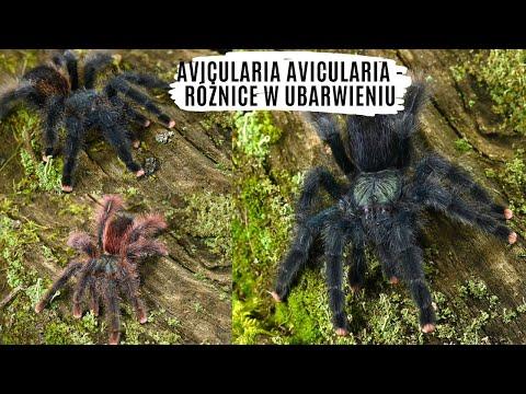Różnice ubarwienia w morfotypach Avicularia avicularia | arent.pl