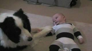 Border collie juega con bebe