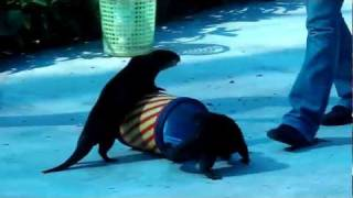 Otter Driving A Car Funny Video From Tiger Show In Koh Samui Thailand