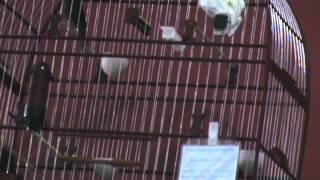 VIDEO DO CURIÓ GUAPOZINHO