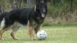 German Shepherd playing football- Bend it like Togar