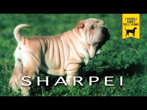 shar pei - trailer documetario