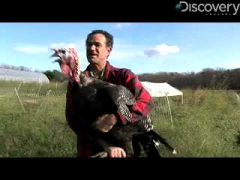 turkeys - Discovery-News.com: Turkeys are more than just Thanksgiving dinner. James Williams shares five reasons theyre our new favorite bird. For more science news st...