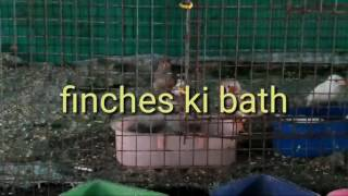 FINCHES Ki baths