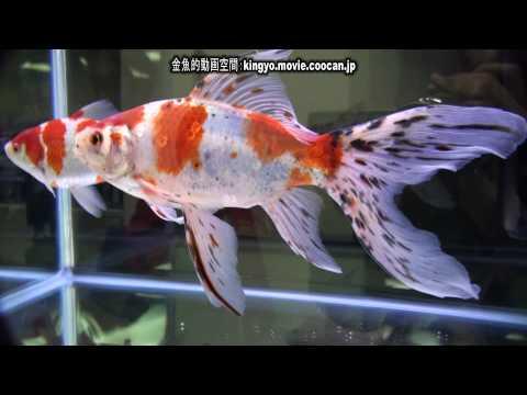 [朱文金]第28回日本観賞魚フェア 親魚の部 優勝:橘川養魚場持魚