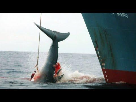 Japan will kommerziellen Walfang erlauben