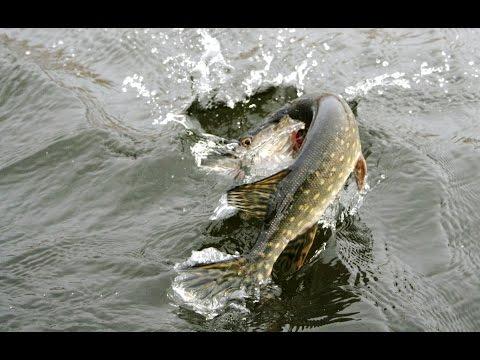 рыбалка ужение крупной щуки видишь  это